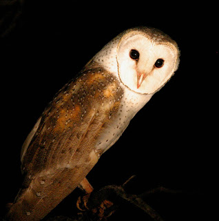 Exhibit B - Barn Owl
