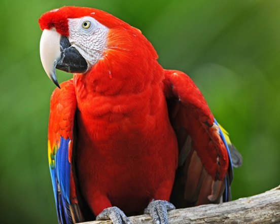 Exhibit A - Scarlet Macaw